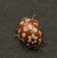 Myrrha octodecimguttatata 18-spot ladybird found on Scots Pine
