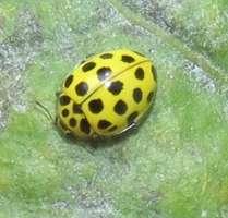 Psyllobora vigintiduopunctata found by sweeping vegetation