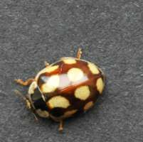 Cream-spot ladybird Calvia quattourdecimpunctata found on decidous trees such as Tilia Lime species