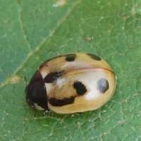 Coccinella hieroglyphica apparently scarce in Ireland