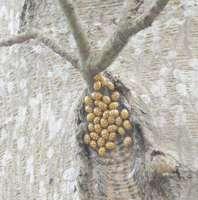 Halyzia sedecimguttata hibernating under branch on north side of a Maple