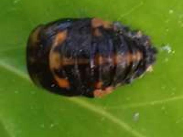 pupa of 7-spot ladybird Coccinellia 7-punctata
