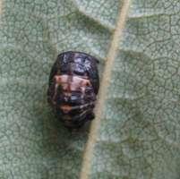 Adalia bipunctata 2-spot ladybird pupa found on Sycamore