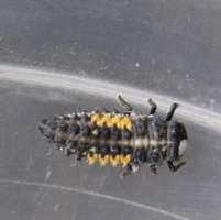 Harmonia 4-punctata larva