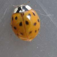Harmonia axyridis  harlequin ladybird form succinea 24 hours after emergence