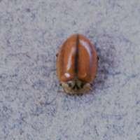 Aphidecta obliterata found on Pine